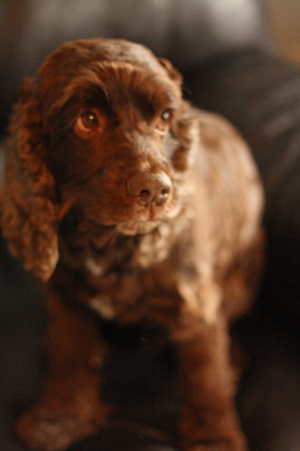 Tucker, Chocolate Cocker Spaniel